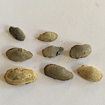 7 Paleyoldia glabra and onePalaeoneilo oweni #355  Finis Shale, Graham Formation  Jacksboro, Jack Co., TX