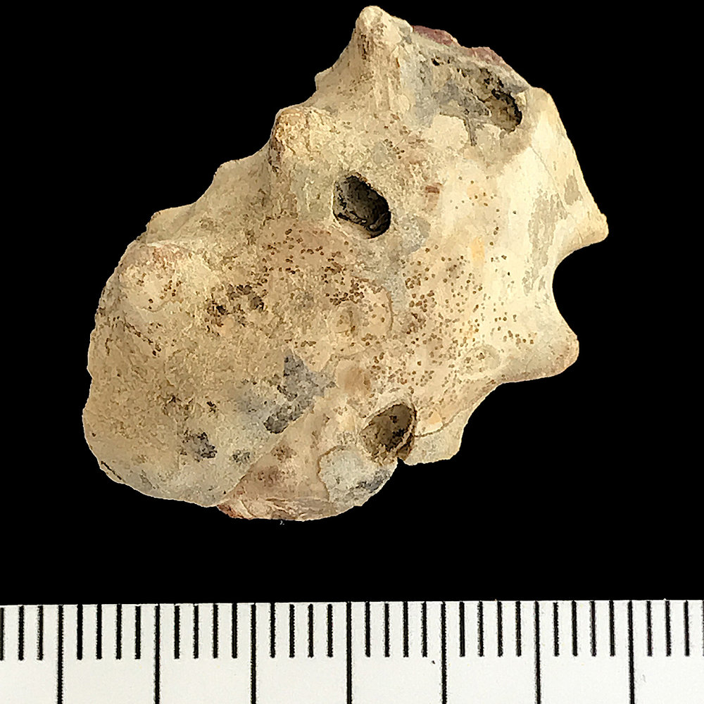 Metacoceras #918a Graham (Finis Shale) Jacksboro, Jack Co., TX