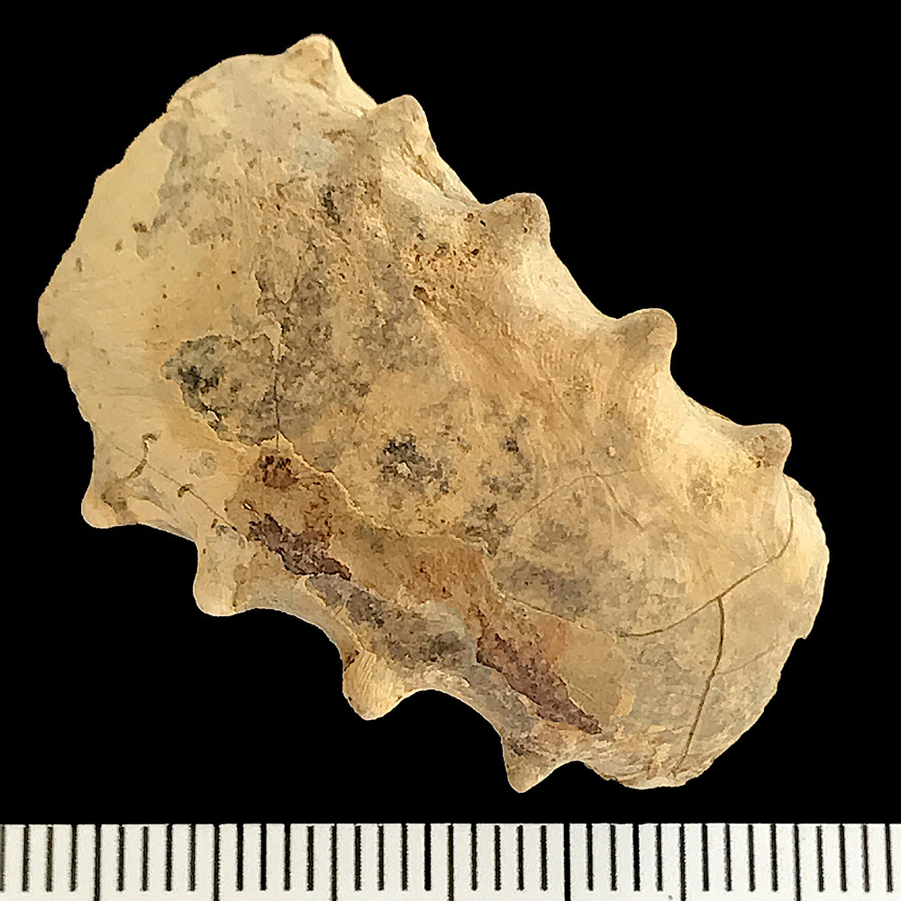 Metacoceras #918c  Graham (Finis Shale)  Jacksboro, Jack Co., TX