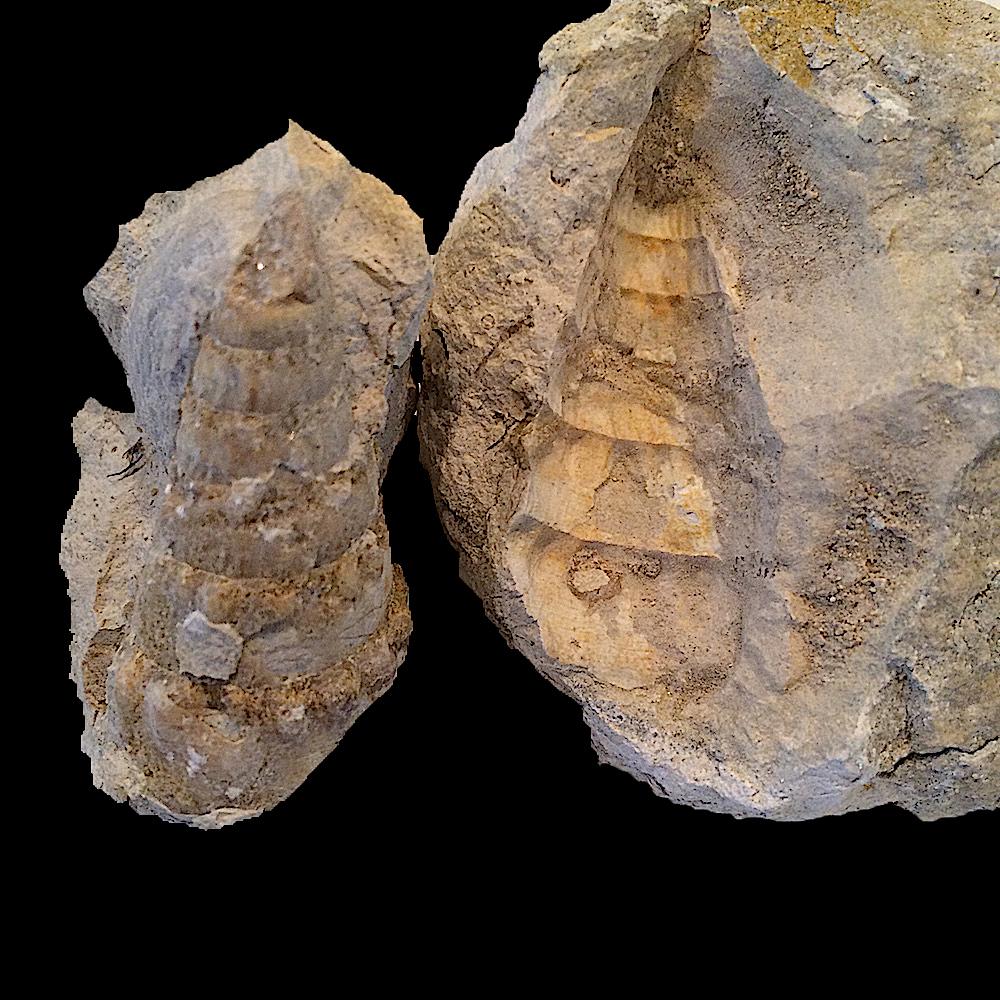 Cerithium sp. #399  Comanche Peak Formation  Hood Co., TX