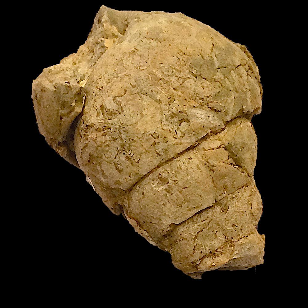 Tylostoma tumidum #396e  Comanche Peak Formation  Hood Co., TX