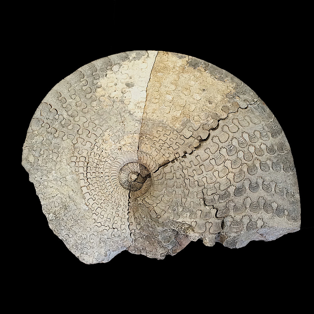 Metengonoceras dumbli  Walnut Clay Formation  Hood Co., TX