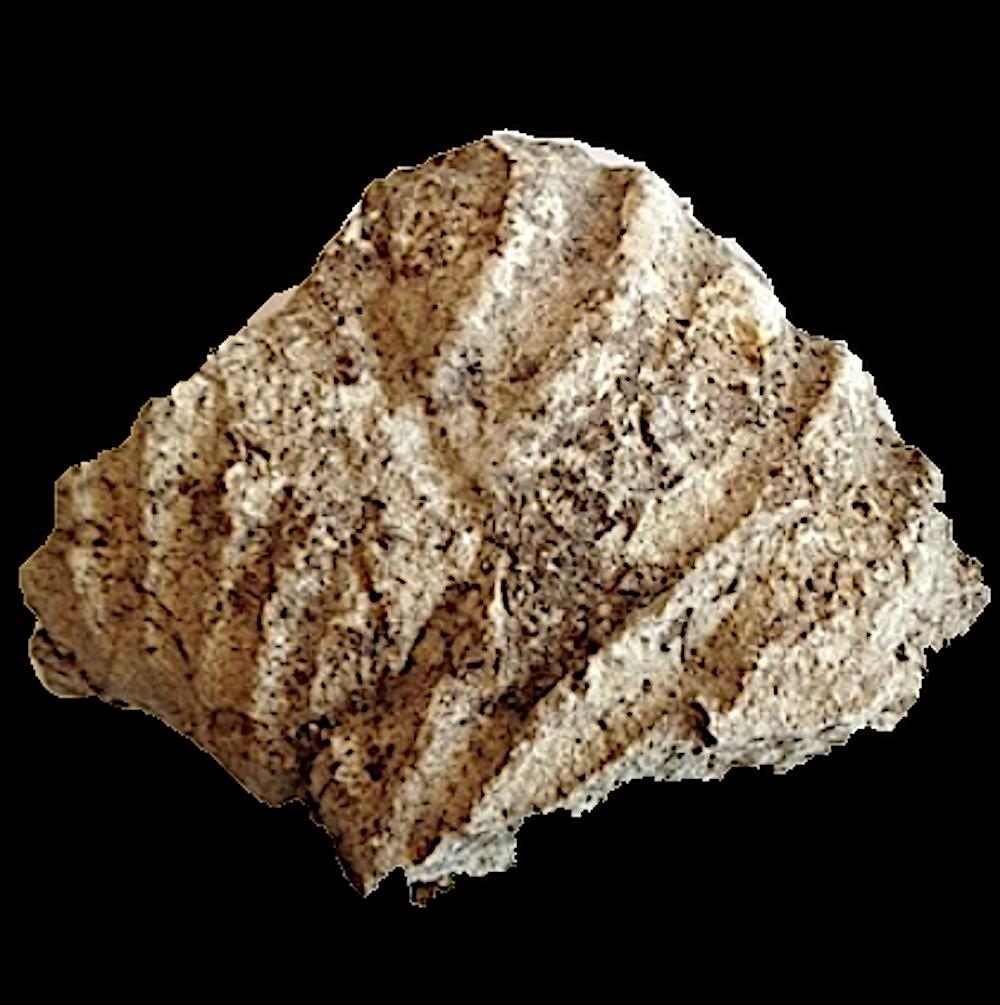 Oxytropidoceras #125  Comanche Peak Formation  Hood Co., TX