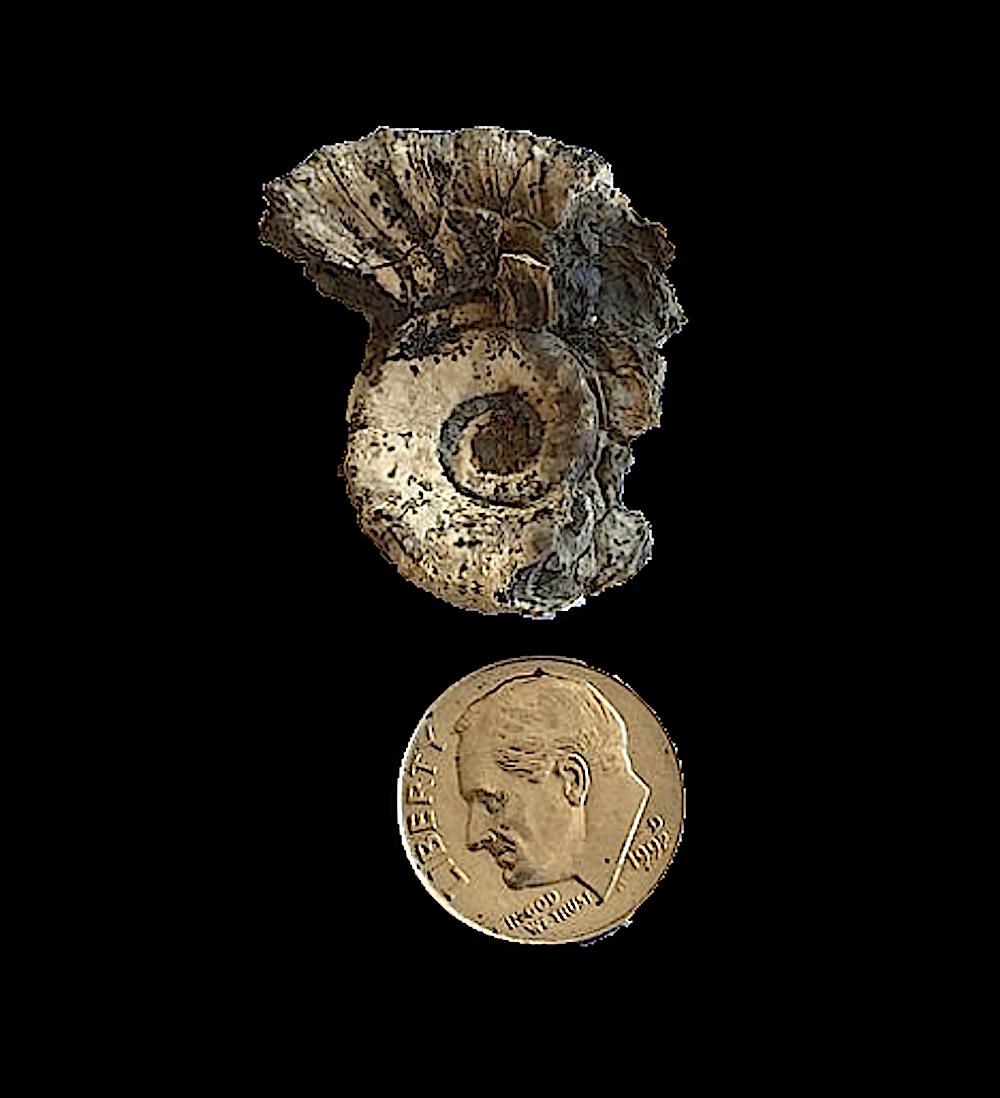 Amphiscapha subrugosa #439  Graham Formation (Finis Shale)  Jacksboro, Jack Co., TX