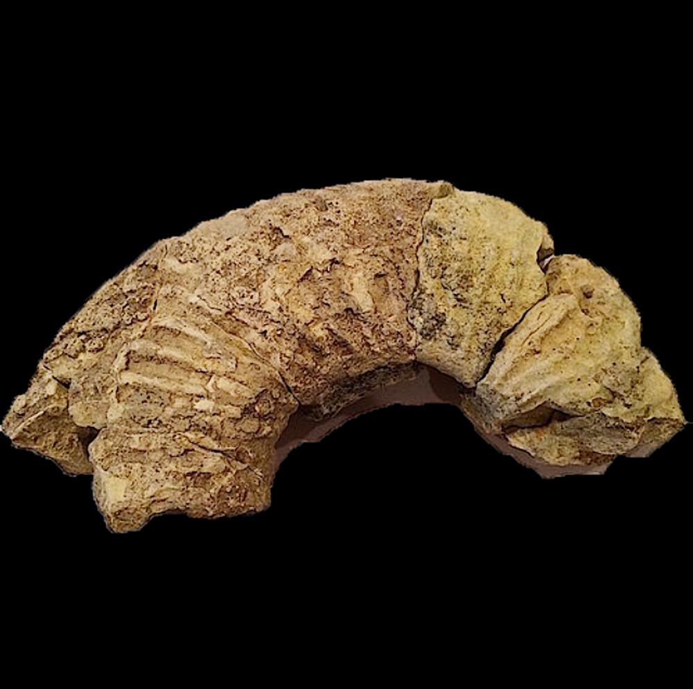 Oxytropidoceras #395  Comanche Peak Formation  Hood Co., TX