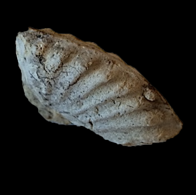 Oxytropidoceras #360b  Comanche Peak Formation  Hood Co., TX