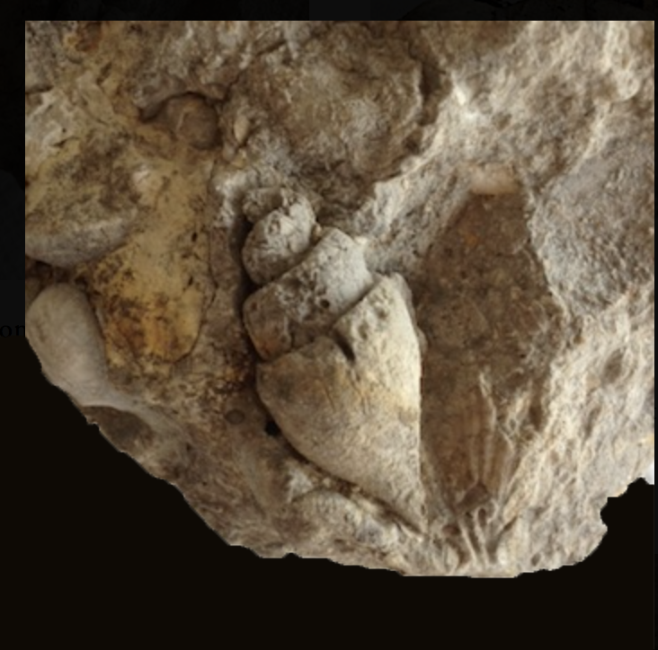 Tylostoma tumidum in Matrix  Comanche Peak Formation  Hood Co., TX