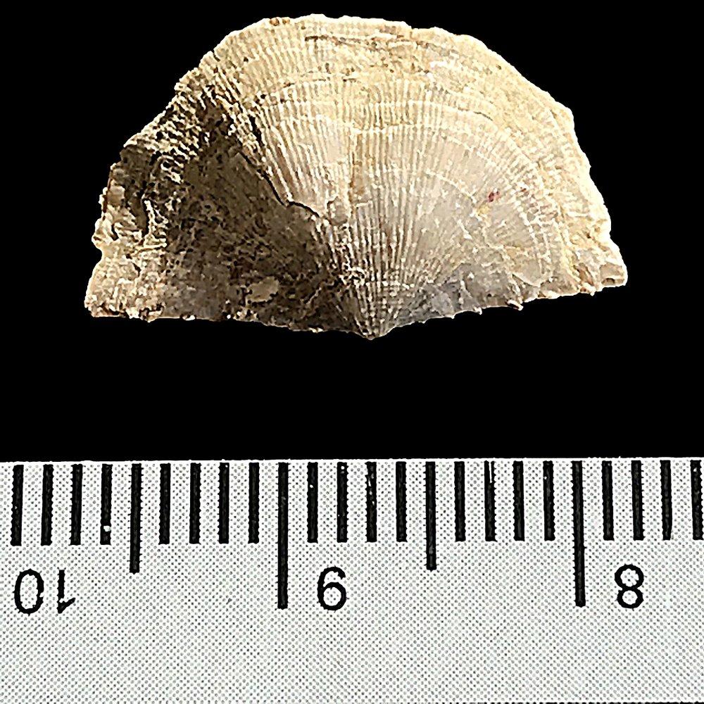 Neochonetes granulifer #984k   Finis Shale, Graham Formation  Jacksboro, Jack Co., TX