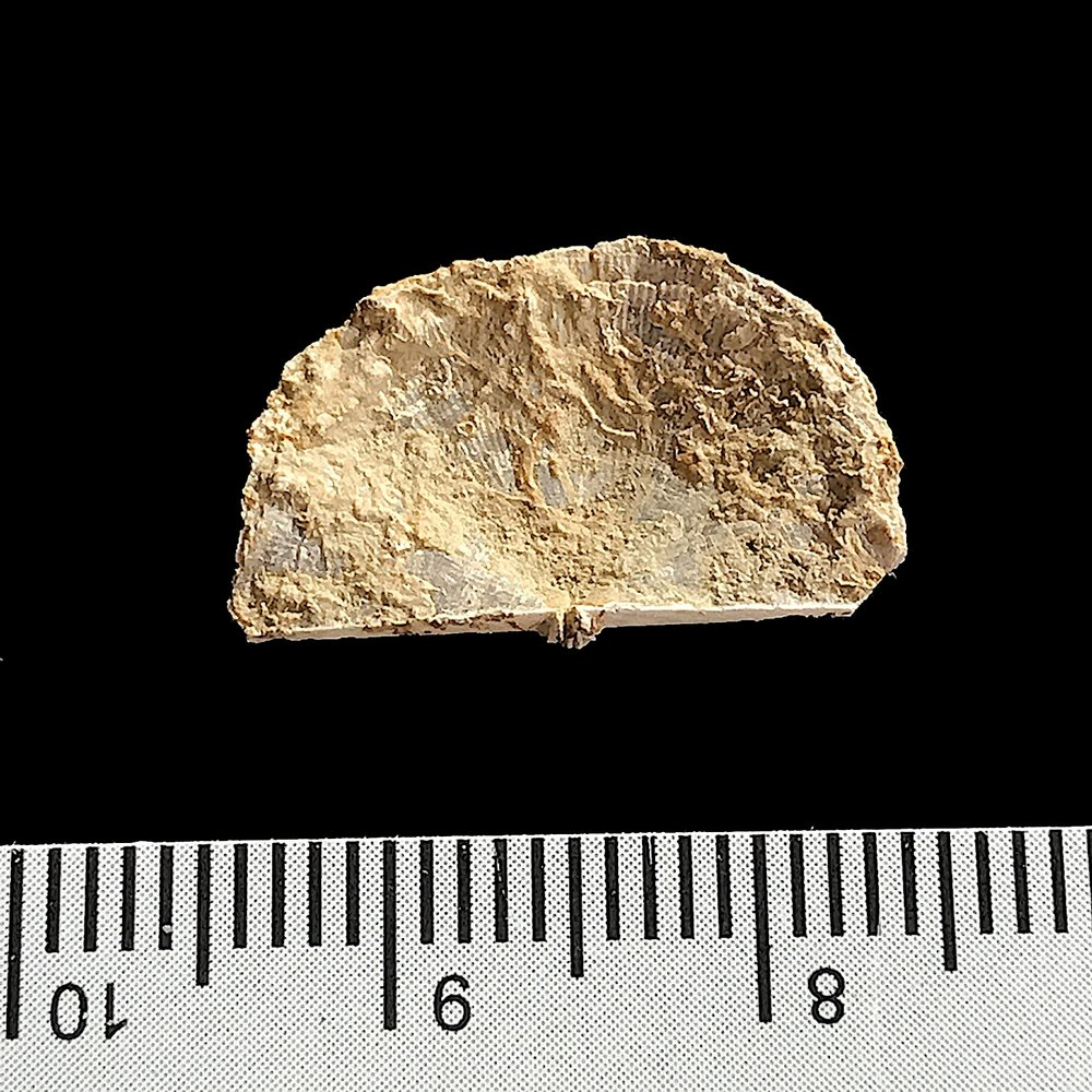 Antiquatonia portlockiana  #984j Finis Shale, Graham Formation Jacksboro, Jack Co., TX