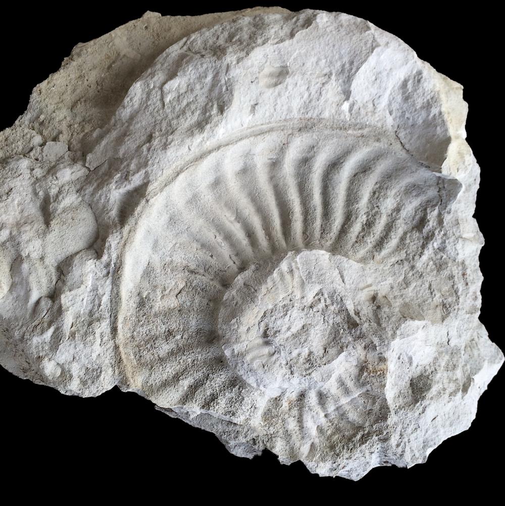 Mortoniceras Imprint  Duck Creek Formation  Cooke Co., TX