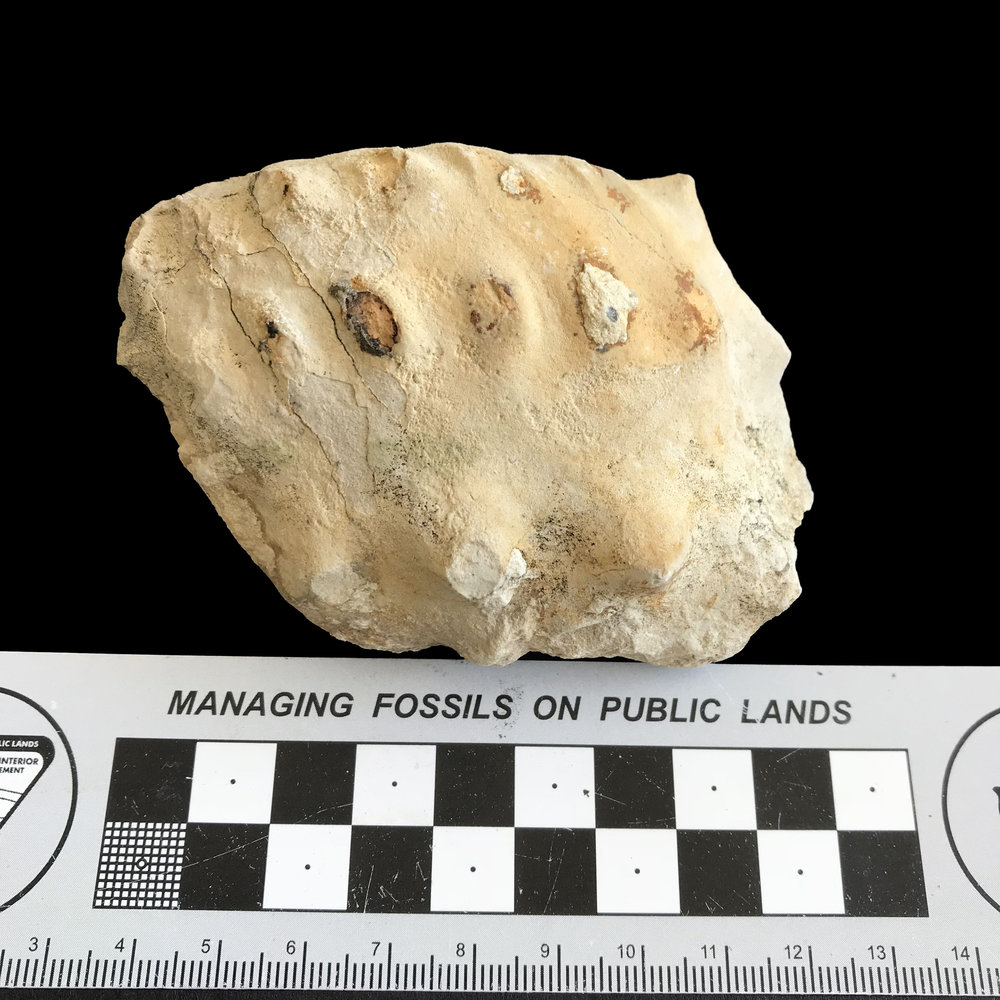 Mariella worthensis #1146b  Grayson Marl Formation  Denton, TX
