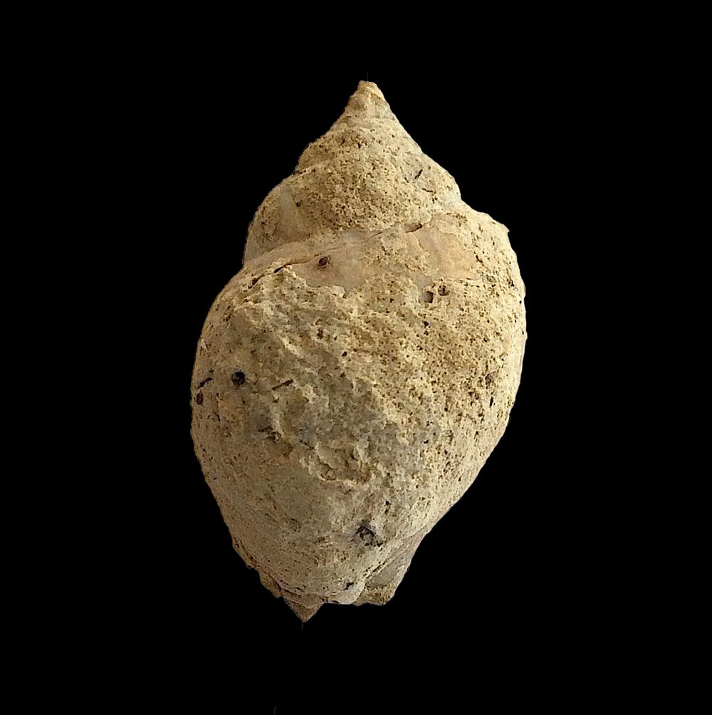 Soleniscus primigenius #437  Graham Formation (Finis Shale)  Jacksboro, Jack Co., TX