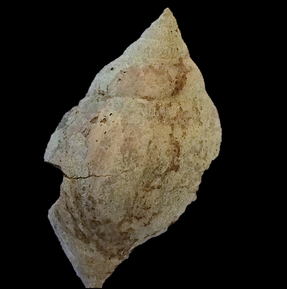 Strobeus paludinaeformis #553  Graham Formation (Finis Shale)  Jacksboro, Jack Co., TX