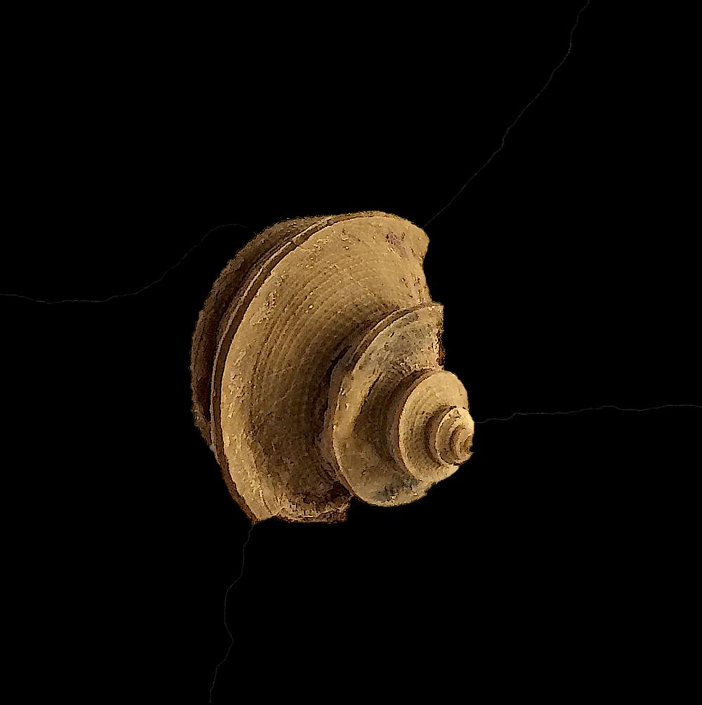 Worthenia tabulata #454c  Graham Formation (Finis Shale)  Jacksboro, Jack Co., TX