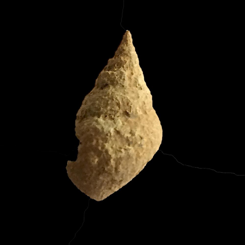 Strobeus paludinaeformis #457  Graham Formation (Finis Shale)  Jacksboro, Jack Co., TX