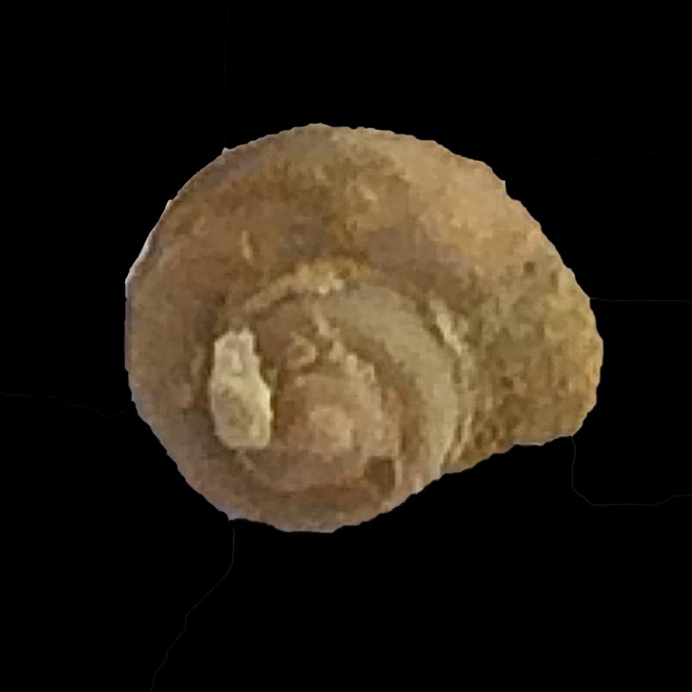 Worthenia tabulata #474  Graham Formation (Finis Shale)  Jacksboro, Jack Co., TX