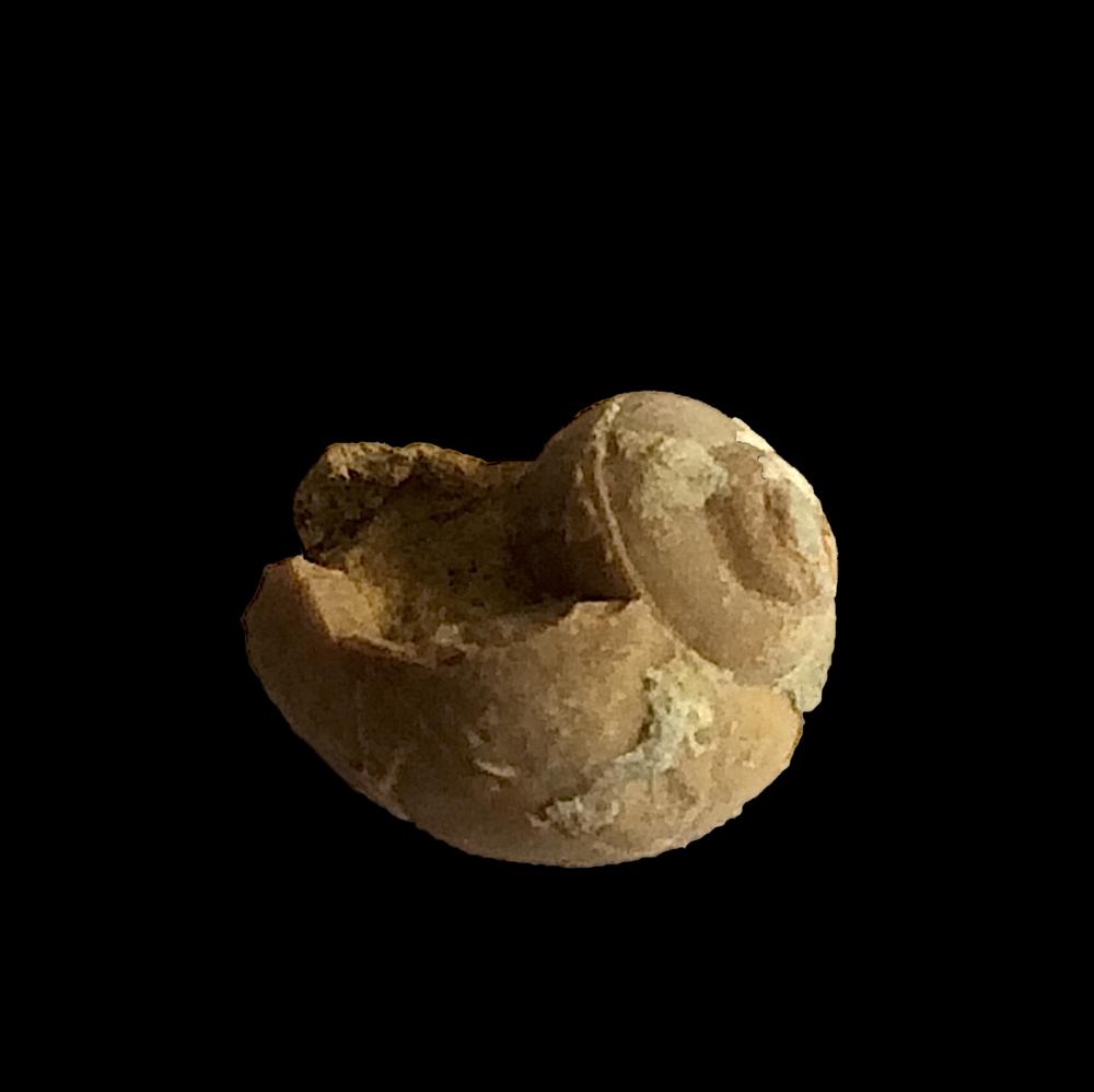 Worthenia tabulata #474b  Graham Formation (Finis Shale)  Jacksboro, Jack Co., TX