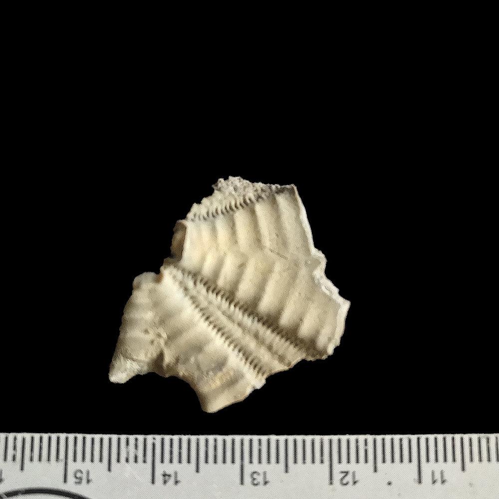 Coenholectypus sp. #  Del Rio Formation  Waco, TX