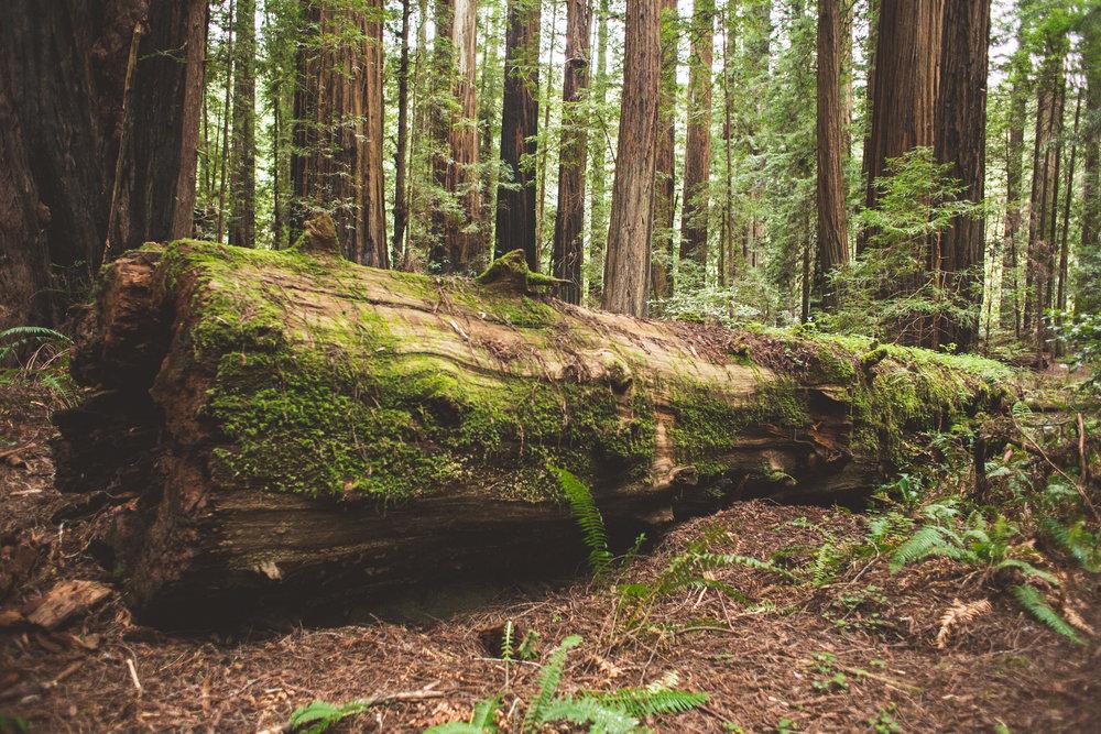 Redwoods-17.jpg