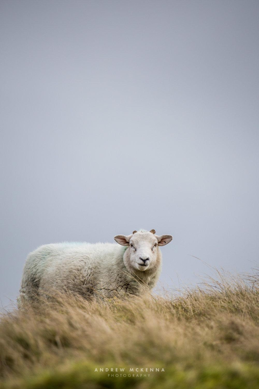 A free roaming sheep on Slieve Croob