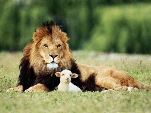 A lion and a lamb, lying down together