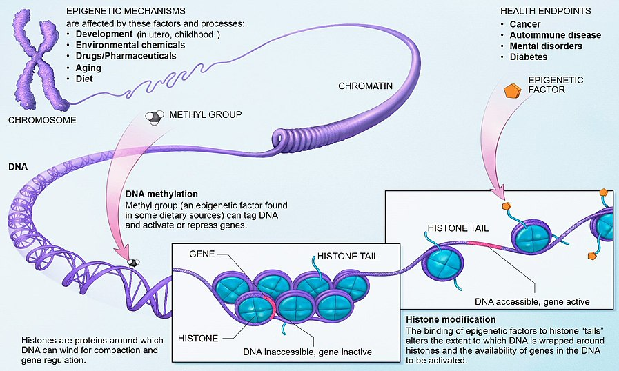 "Link to the Wikipedia article on ""Epigenetics"""