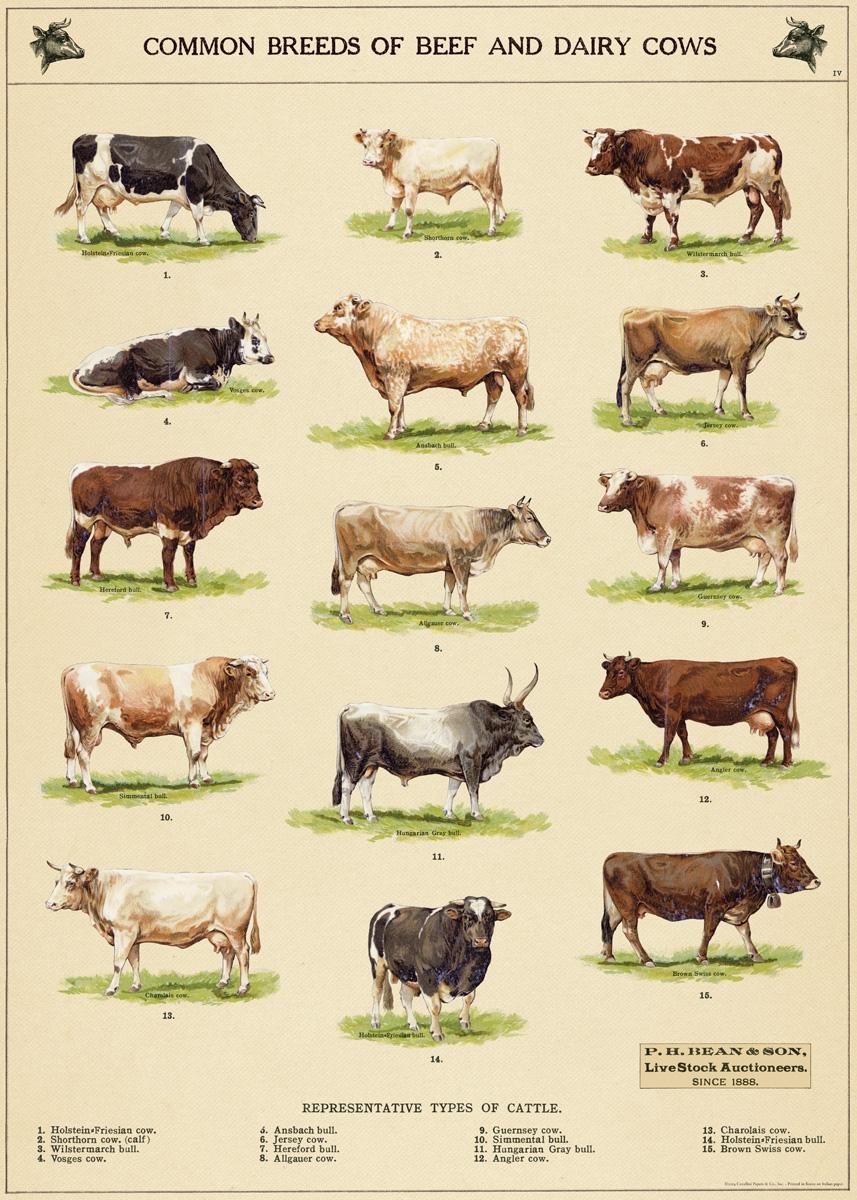 Cow Chart Wrap