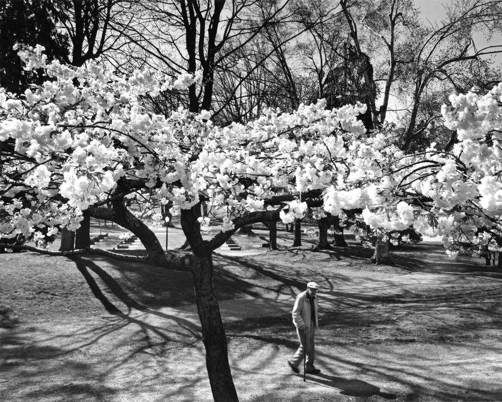 Man Strolling Beneath Wright Park Cherry