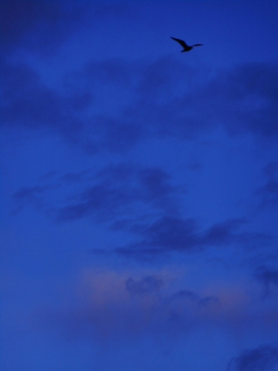 Free seagull in morning sky southshore May 2018.jpg