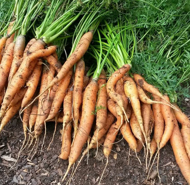 Our first ever 2016 carrot harvest in our raised garden bed!