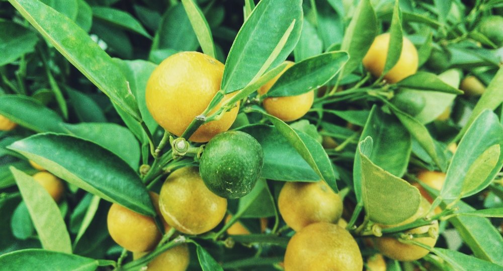 The Lemon Tree - A story about my summer
