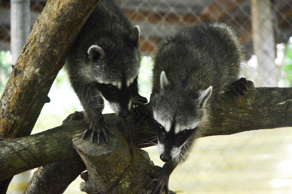 2 Raccoons.jpg