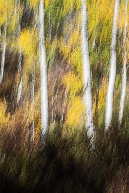 Monet's Aspens