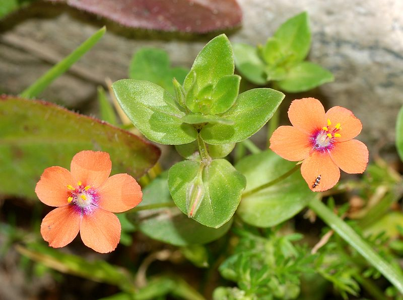 Scarlet Pimpernel (Anagallis arvensis) non-native weed in California