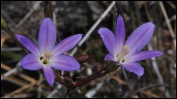 Santa Rosa Basalt Brodiaea (Brodiaea santarosea)