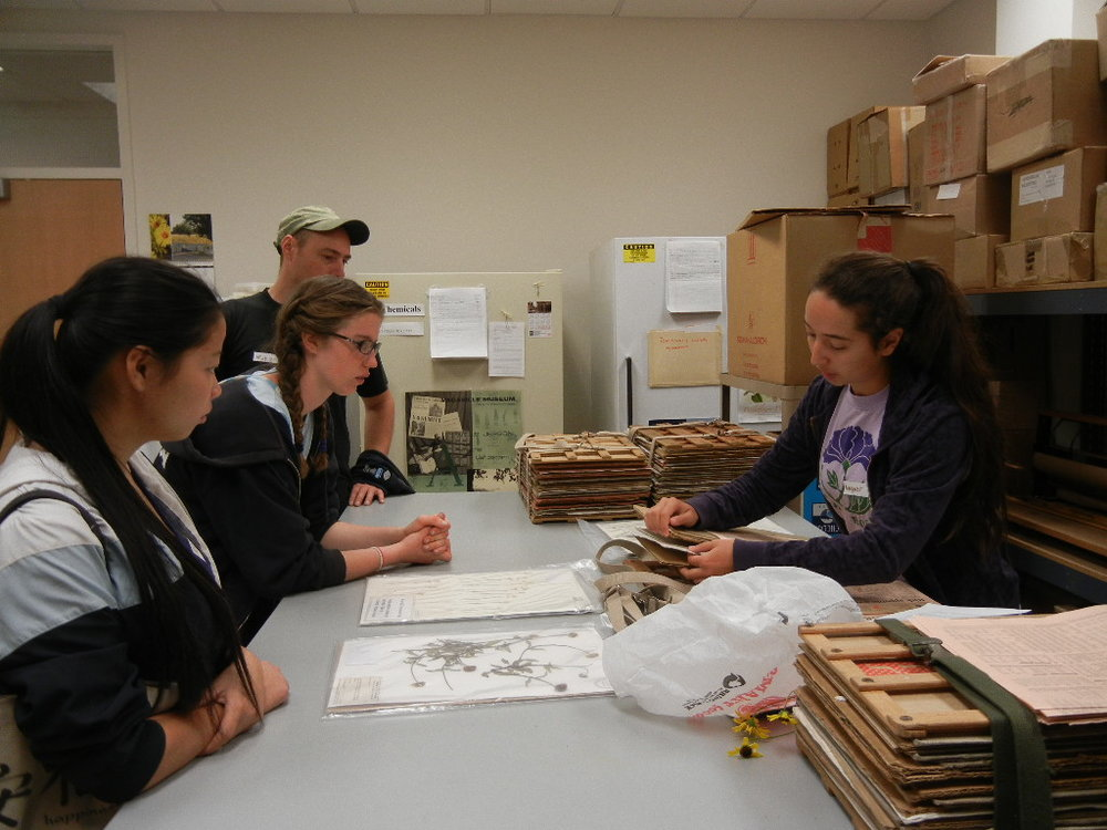 Student Margaret Starbuck demonstrates how to use a plant press. Plant samples are placed in folds of newspapers, placed between blotting paper and cardboards and then placed in the wooden press which is tightened with straps. Photo: E. Dean .