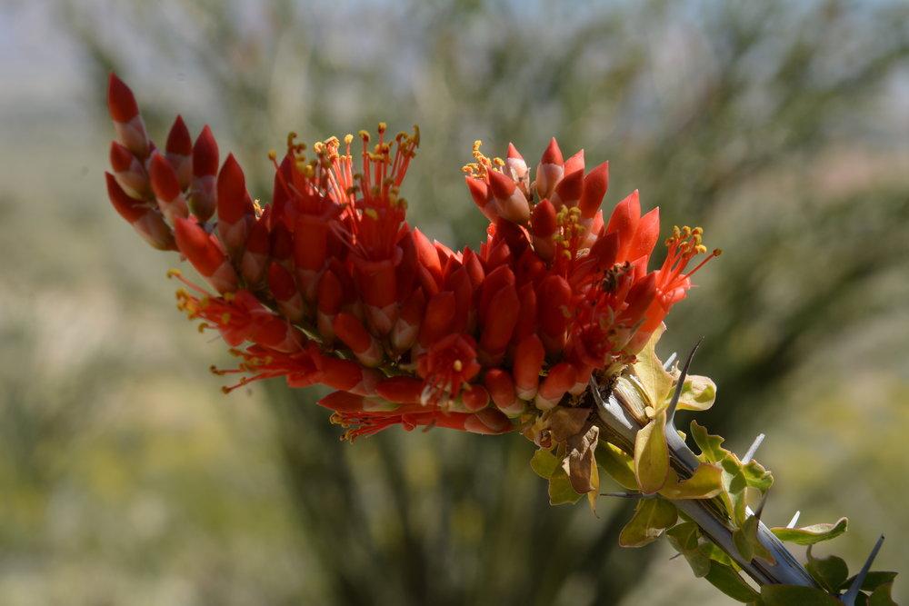 Fouqueria splendens