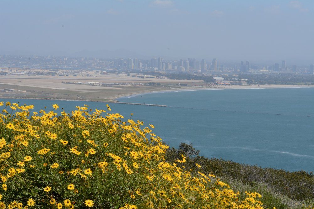 Encelia californica (California encelia) with the city in background