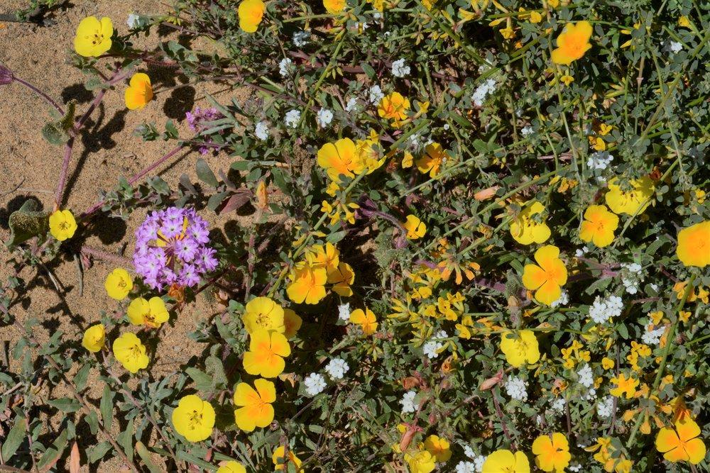 Floral diversity at Torrey Pines State Preserve