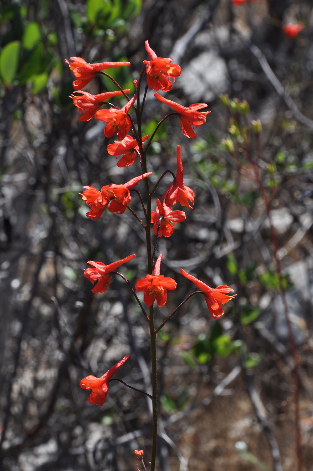 Scarlet Larkspur (Delphinium cardinale)