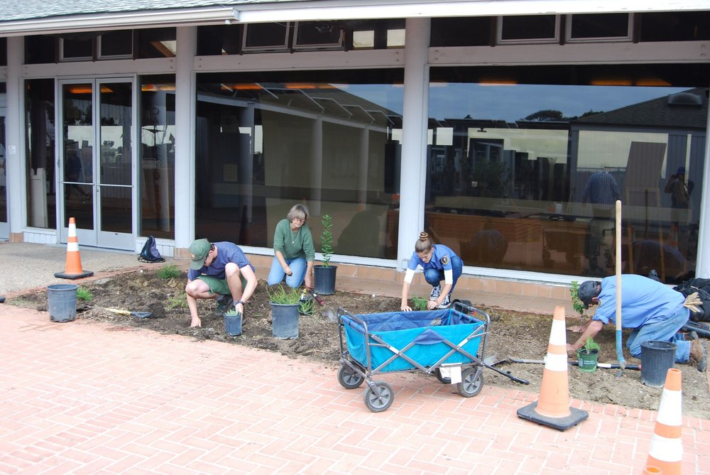 CNP staff and Community volunteers carefully planting locally native plants grown by the Cabrillo propagators next to the Visitor Center.