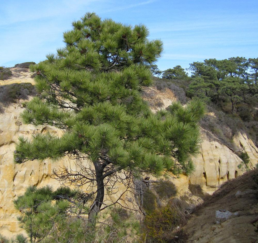 Pinus_torreyana_at_State_Reserve.jpg