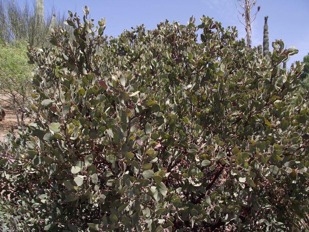 Arctostaphylos glandulosa ssp. crassifolia