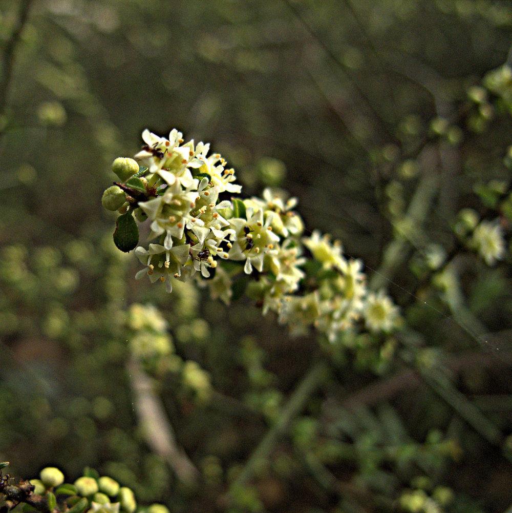 Adolphia californica
