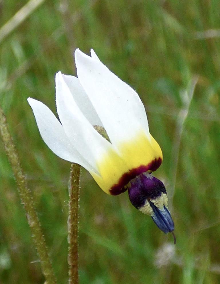 Padre's Shooting Star (Primula clevelandii)