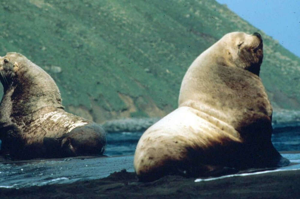 Steeler Sea Lion,  Early T, U.S. Fish and Wildlife Service