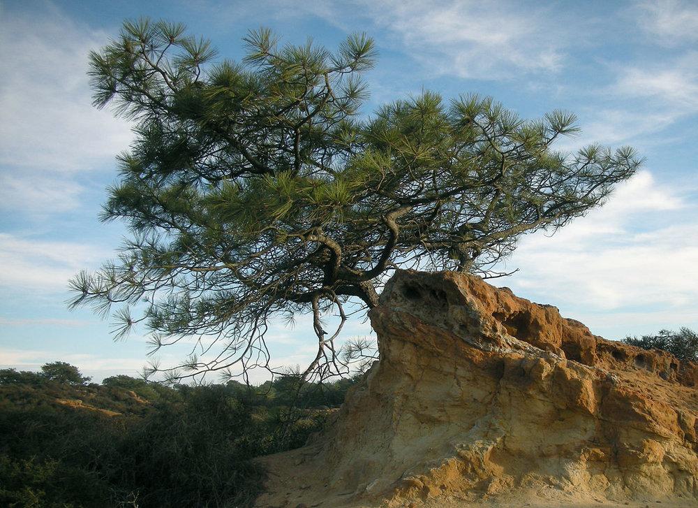 TheNose at Flickr , Pinus torreyana , CC BY-SA 2.0