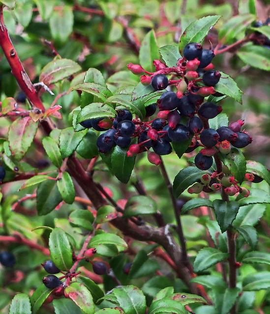 California Huckleberry (Vaccinium ovatum var saporosum) Photo by John Rusk