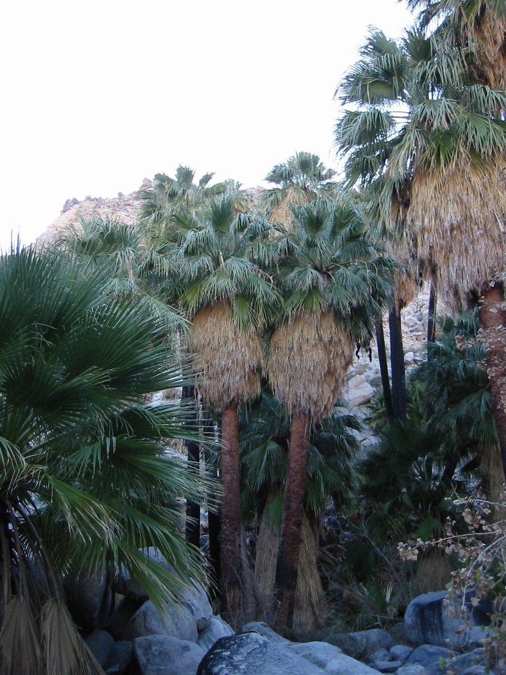 California Fan Palm ( Washingtonia filifera )anonymous, Washingtonia filifera , CC BY-SA 1.0