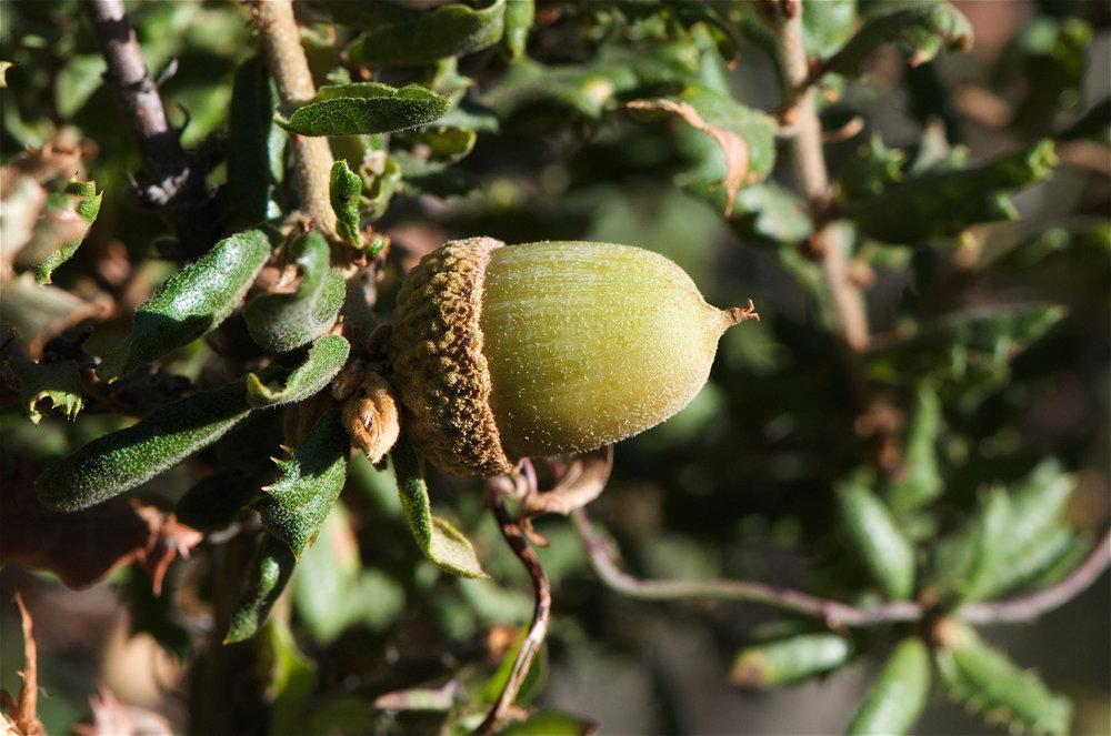 Nutall's Scrub Oak (Quercus dumosa)